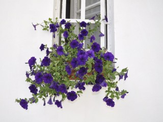 Florile mele,la geamul meu
