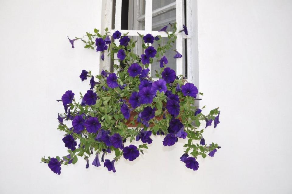 florile mele, la geamul meu
